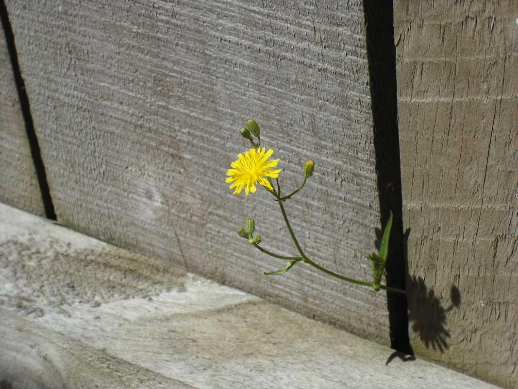 Flower peacefully blooming through opening in fence